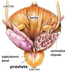 anatomski odnosi prostate sa okolnim organima