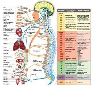 šematski prikaz inervacija pojedinih organa korenovima iz kičmenog stuba